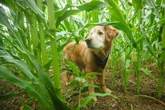 29/52 George explores the cornfield (J Helsel) Tags: goldenretriever summer cornfield corn cornstalks confluencepennsylvania