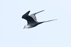 Long-tailed Skua at Gednje S24A4108 (grebberg) Tags: gednje bird varanger finnmark norway june 2019 longtailedskua fjelljo stercorariuslongicaudus stercorarius skua
