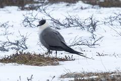 Long-tailed Skua at Gednje S24A4022 (grebberg) Tags: gednje bird varanger finnmark norway june 2019 longtailedskua fjelljo stercorariuslongicaudus stercorarius skua