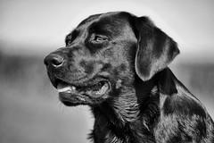 Bichou (uwe.kast) Tags: labrador bichou hund dog black panasonic lumix g9