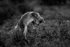 Hunting (CecilieSonstebyPhotography) Tags: arctic fox endangered closeup alopexlagopus bw canon norway markiii whitefox langedrag focused canon5dmarkiii snowfox blackandwhite hunting hunt foxcub polarfox specanimal specanimalphotooftheday specanimaliconofthemonth