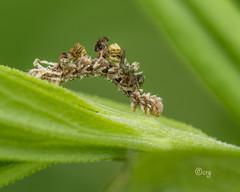 wavy-lined emerald (crgillette77) Tags: pennsylvania bradfordcounty caterpillar wavylinedemerald camouflagedlooper synchloraaerata goldenrod