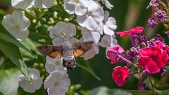 Le  Moro-Sphinx (clamar18) Tags: sphinx papillon morosphinx fleur blanc jardin mérysurcher butterffly insecte phlox
