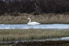 Whooper Swan at Gednje S24A4122 (grebberg) Tags: gednje bird varanger finnmark norway june 2019 whooperswan sangsvane cygnuscygnus cygnus swan