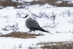 Long-tailed Skua at Gednje S24A4027 (grebberg) Tags: gednje bird varanger finnmark norway june 2019 longtailedskua fjelljo stercorariuslongicaudus stercorarius skua