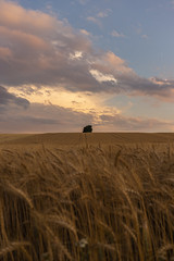 In the wheat #2 (verblickt) Tags: wheat farmland cropland agrarculture homeland evening clouds village loweraustria
