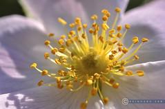 Weinviertel Niederösterreich Wetzleinsdorf_DSC0243 (reinhard_srb) Tags: weinviertel niederösterreich wetzleinsdorf natur heckenrosen rosa canina blüte hagebutten dornen busch tee frucht pollen