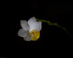 _DSC2977 (Geza (aka Wilsing)) Tags: orchid miniaturephalaenopsis plant flower indoors 3cmwide