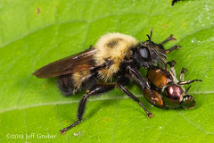 Robber Fly (Laphria sp.) with prey (jgruber111) Tags: laphria laphriinae asilidae diptera insect macro entomology robberfly