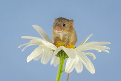 harvest mouse and the daisy (TonyW13) Tags: mouse mice harvest daisy macro canon mammal rodent nature wildlife flower plant