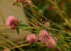P7209759 (magneroed) Tags: redclover rødkløver blomst flower plant plante fitjar norway red raud rød