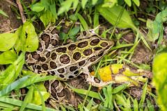 Frog (Lithobates sp.) (jgruber111) Tags: lithobates ranidae anura amphibia amphibian frog