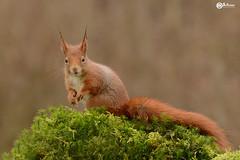 Écureuil - Squirrel (Daniel SALTZMANN) Tags: