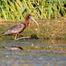danube delta, ibises, 2014