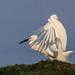 danube delta, egrets, 2014