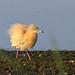 danube delta, squacco herons, 2014