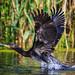 danube delta, cormorants, 2014