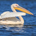 danube delta, pelicans, 2014
