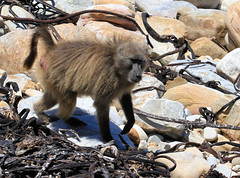 Babouin chacma - Cape of Goop Hope/Western Cape/South Africa_20181122_003-1 (Patrick Monney) Tags: babouinchacma papioursinus chacmababoon capebaboon bärenpavian babuinochacma медвежийпавиан cercopithécidés cercopithecidae mammifère mammal faunesauvage wildlife mammalsofsouthafrica mammifèresdafriquedusud southafrica afriquedusud westerncape capoccidental capepoint capeofgoodhope capdebonneespérance