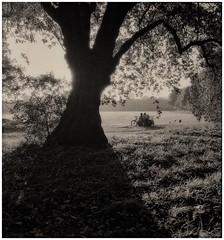 image (devonaldjohndavies) Tags: original rolleiflex carl zeiss jena tessar 75cm45 ilford 3200 delta pro tlr pyrocathd bute park sillhouette shadow square format