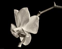 _DSC2987 (Geza (aka Wilsing)) Tags: orchid miniaturephalaenopsis plant flower indoors 3cmwide blackwhite monochrome