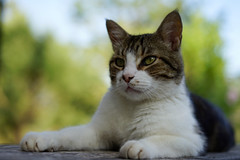 9385.Grigri (Greg.photographie) Tags: sony a7 digital 50mm f18 chat cat couleur colors grigri