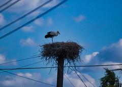 IMG_6292 (gidlark) Tags: sky blue cable bird stork nest