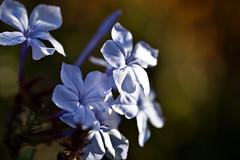 Plumbago - A Winter Garden Fantasy pt1. (roanfourie) Tags: nikon d3400 dx helios 442 raw gimp july 2019 winter flower flowers plant blue plumbago capeleadwort blousyselbos garden