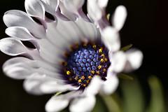 Flower (roanfourie) Tags: flickrlounge weeklytheme filltheframe nikon d3400 dx tamron 60mm f2 raw gimp july 2019 winter flower purple white