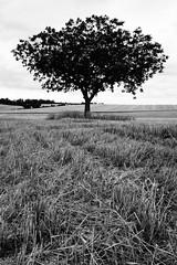 Arbracadabraaa ! (Esteban 86360) Tags: tree arbre flore paysage country campagne nature natural champs field moisson blé culture vienne 86 montamisé poitou france nb simple noir blanc gris black white grey sony rx100 summer été saison season
