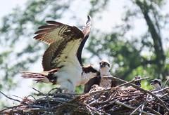 Fish For Dinner Again?? (Meryl Raddatz) Tags: osprey bird nest canada nature naturephotography family