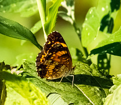 Butterfly (Hayseed52) Tags: butterfly green virginia