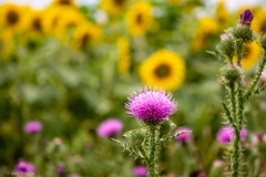 Lila Blüte (carsten.plagge) Tags: 2019 30mm cp55 carstenplagge lumix quedlinburg sommer sonnenblumen sonnenblumenfeld