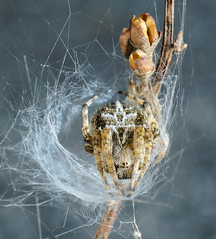 Lurking spider in cocoon (Dr. Ernst Strasser) Tags: ifttt 500px cocoon lurking macro nature spider web outdoors full length closeup view focus on foreground durnstein lower austria branch natural world nobody 1 animal d¸rnstein kokon makro natur spinne wachau dürnstein ernst strasser unternehmen startups entrepreneurs unternehmertum strategie investment shareholding mergers acquisitions transaktionen fusionen unternehmenskäufe fremdfinanzierte übernahmen outsourcing unternehmenskooperationen unternehmensberater corporate finance strategic management betriebsübergabe betriebsnachfolge
