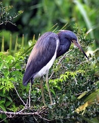 Peaceful Quiet (PelicanPete) Tags: bird aviancapture inthewild nature saintaugustine florida unitedstates usa beauty natural treetop nest nesting 7519 peacefulquiet adult tricoloredheron