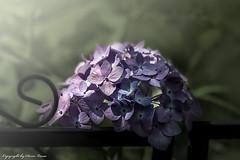 Hortensienblüte (Doris Lucas) Tags: hortensie hortensienblüte dorislucas waldsolms garten blume blaue hortensien
