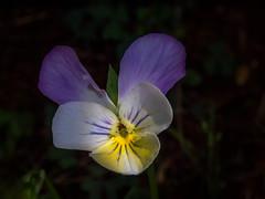 Tiny tri-tone (Thomas Cizauskas) Tags: flower bloom blossom wildflower weed summer dekalb georgia poem