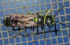Unidentified Square-headed Wasp, Washington Crossing (Seth Ausubel) Tags: crabronidae hymenoptera crabroninae