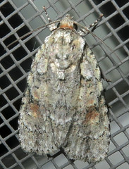 Dagger Moth, Acronicta sp., possibly Ovate Dagger Moth, A. ovata, or Raspberry Bud Dagger Moth, A. increta, Washington Crossing (Seth Ausubel) Tags: noctuidae moth acronictinae
