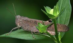 Carolina Grasshopper, Dissosteira carolina, Bowman's Hill Wildflower Preserve (Seth Ausubel) Tags: acrididae orthoptera oedipodinae