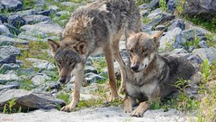 Wolf - 7110 (✵ΨᗩSᗰIᘉᗴ HᗴᘉS✵74 000 000 THXS) Tags: wolf animal loup belgium europa aaa namuroise look photo friends be yasminehens interest eu fr party greatphotographers lanamuroise flickering hss sliderssunday nature