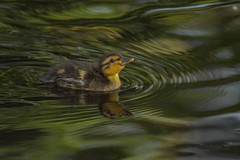 Never mind ripples, when I'm older I'm gonna make waves (Paul wrights reserved) Tags: duck ducks duckling ducklings chick chicks water ripple riplles reflection reflections reflectionphotography light colour colours cute nature wildlife wildlifephotography animal animals animalantics animalportrait