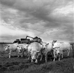 La campagne (david zhornski) Tags: ilford ilfordfp4 ishootfilm rolleiflex35fplanar argentique analog animais farm campagne landscape monochrome mediumformat moyenformat 6x6 film120 noiretblanc nature nb blackwhite analogue fp4