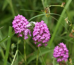 Pyramidal orchid (Anacamptis pyramidalis) (Deanster1983 who's mostly off) Tags: flower nature photo orchid pyramidalorchid anacamptispyramidalis plant