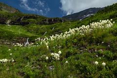 Bear Grass and Water Falls (Ken Krach Photography) Tags: glaciernationalpark