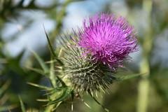 thistle (werewegian) Tags: thistle purple plant flower thorn scotland scottish emblem werewegian jul19