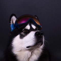 Alaskan Malamute Snowboarder (Wolfhowl) Tags: malamute alaskanmalamute dog pet portrait animal animals furry fluffy cute kawaii studio food cool seal snow northern sled workdog working kyiv ukraine denzel snowboarder googles glasses ski