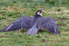 Peregrine Falcon (Dr. Ernst Strasser) Tags: ifttt 500px sparrowhawk bird prey denmark wildlife ernst strasser unternehmen startups entrepreneurs unternehmertum strategie investment shareholding mergers acquisitions transaktionen fusionen unternehmenskäufe fremdfinanzierte übernahmen outsourcing unternehmenskooperationen unternehmensberater corporate finance strategic management betriebsübergabe betriebsnachfolge