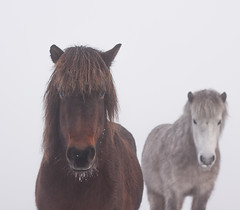 In the fog (Dr. Ernst Strasser) Tags: ifttt 500px equestrian equine foggy horses icelandic horse light mist misty morning pony soft water winter denmark fog ernst strasser unternehmen startups entrepreneurs unternehmertum strategie investment shareholding mergers acquisitions transaktionen fusionen unternehmenskäufe fremdfinanzierte übernahmen outsourcing unternehmenskooperationen unternehmensberater corporate finance strategic management betriebsübergabe betriebsnachfolge