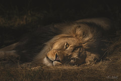 The King 2019 (TheArtOfPhotographyByLouisRuth) Tags: lion malelion zoo zooanimal artofimages cat fur jungle africa portrait nikond810 nikon200500mmlens zooanimals zoolife zooboise lighting proimages award aggroup king kingofjungle africananimals finestnature thebestshots prophoto faverealpictures lionsandtigersand~3~ thehouseofimagegallery magical flickrexpert cwnaturefriends royalgroup animalsmagicreign backinblack scary roar candwnaturefriends detail perspective bestphotooftheday lionking best prophotography license highquality lionsandtigers bestphotooftheweek
